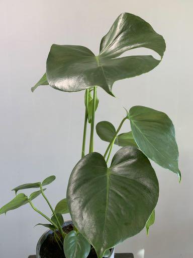 Bladeren van een Monstera plant