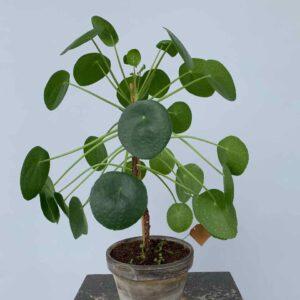 pannenkoekenplant op stam
