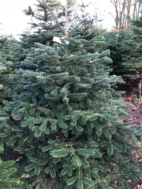 Een foto van een ECO kerstboom bij de kweker